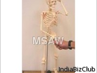 Human Skeleton In Small Size Model